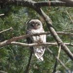 Owl by Ben